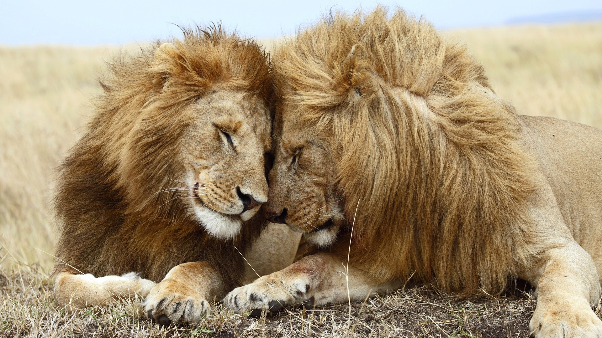 download lion couple wild animal wallpaper - wild animals for your