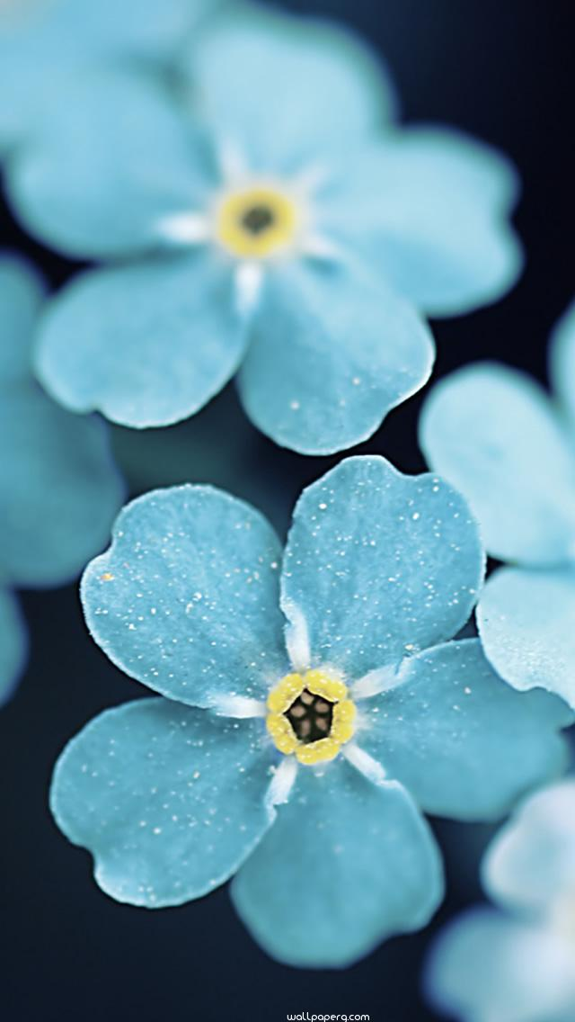 Download Forget me blue flowers hd wallpaper for mobile screen